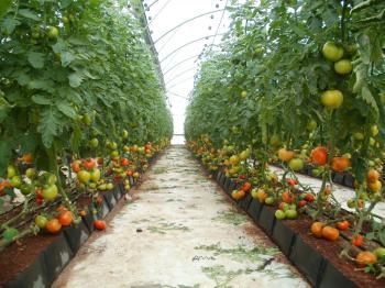 גלריית עגבניה